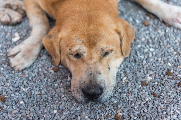 Anemia em cães: saiba identificar os sinais, sintomas, as causas e como tratar