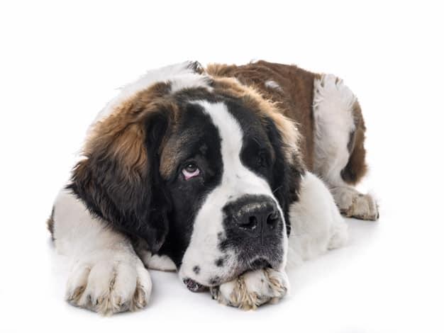 Saiba tudo sobre diabetes canina
