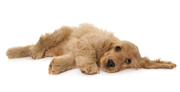 Saiba como lutar contra vermes nos cães