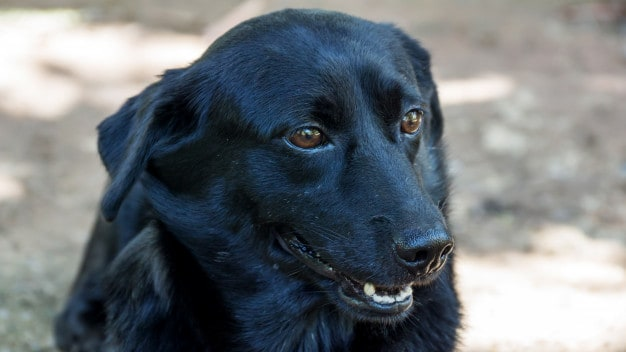 Mitos e verdades sobre os cães vira-latas