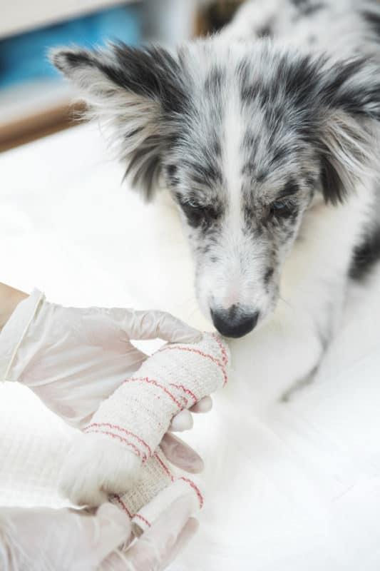Saiba como agir no caso do seu cão se machucar