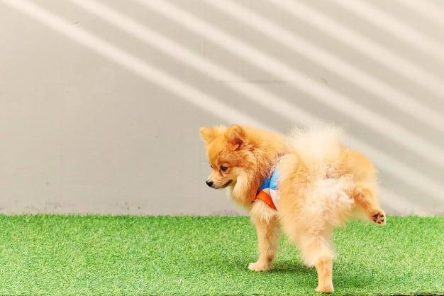 Observe o xixi do seu cão e descubra problemas cedo