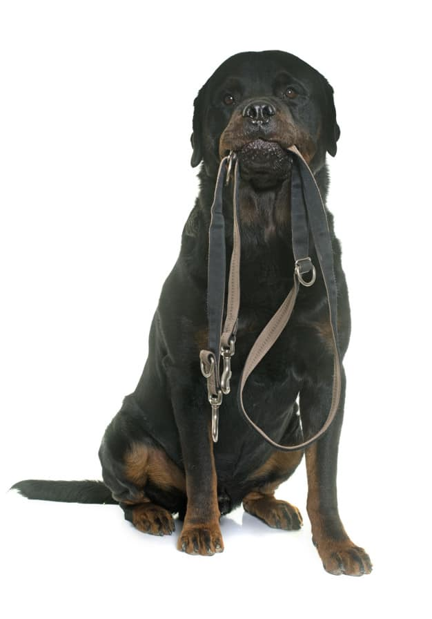 Como colocar coleira em cães agitados e ansiosos
