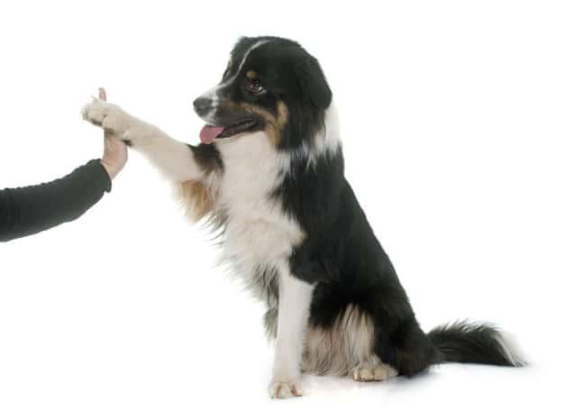 Como começar o adestramento do seu cão