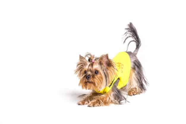 Você está humanizando o cachorro? Entenda quais atitudes são ruins