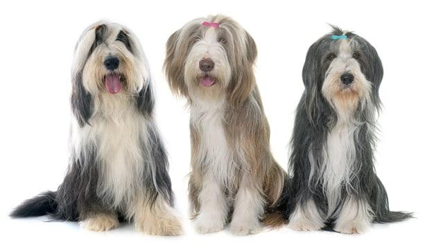 Cães peludos: 5 raças para conhecer e se apaixonar