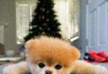 Boo - O cachorro mais fofo do mundo deitado no chão