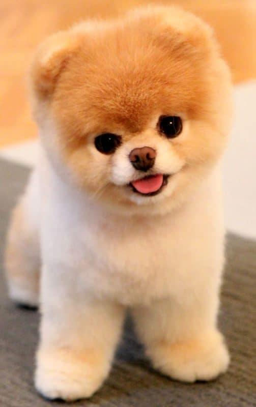 Boo - Cachorro mais fofo do mundo