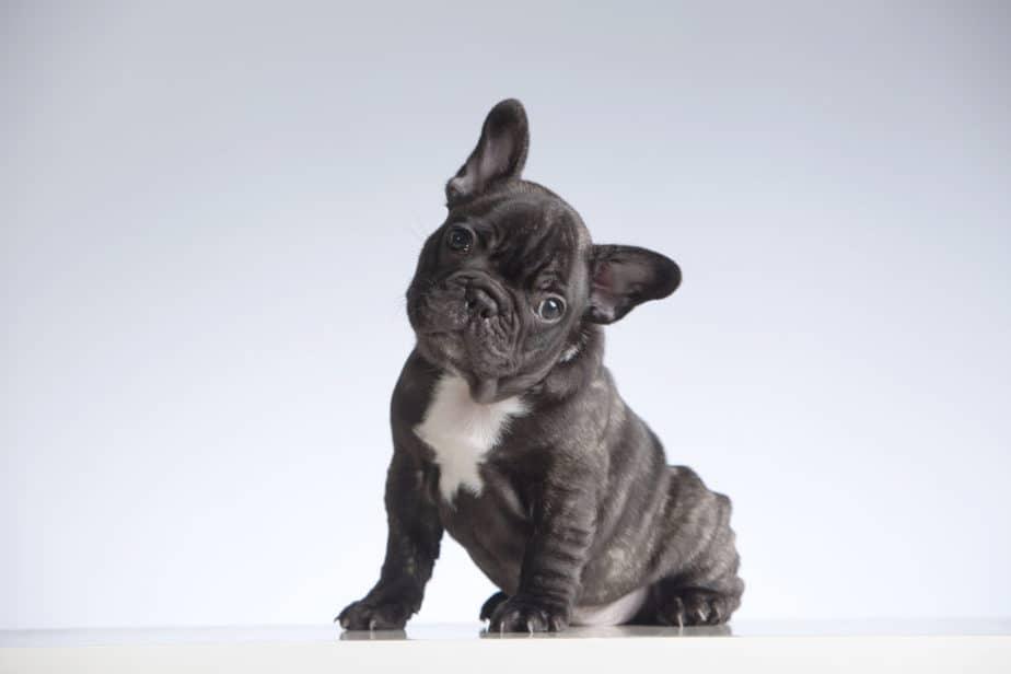 bulldog filhote preto