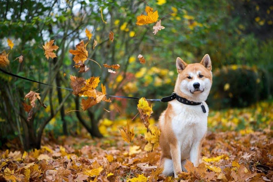 Cachorro fofo Akita passeando no parque