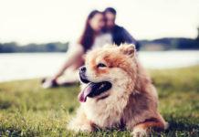 cachorros fofos chow chow parque com família