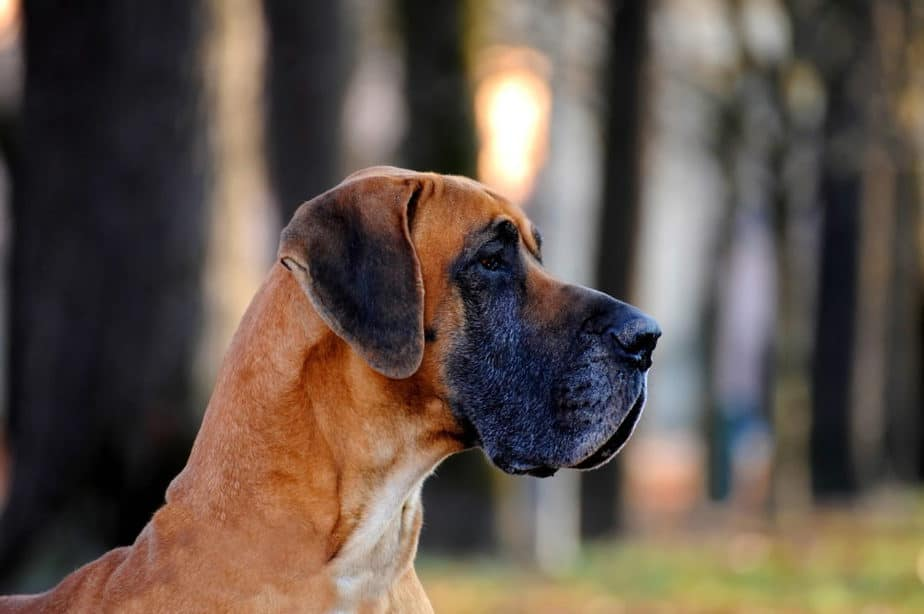 Dogue Alemão adulto de perfil