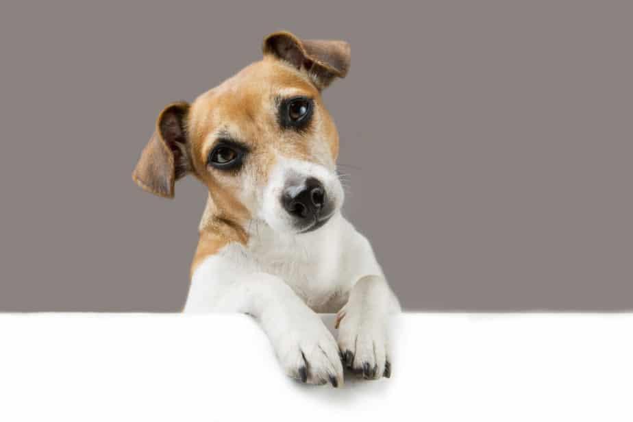 Cachorro com ansiedade olhando para frente em fundo cinza. Ansiedade em cães