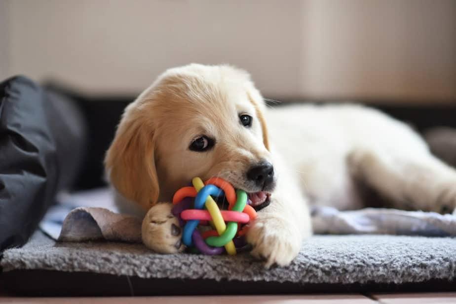 Cachorro com brinquedo de morder em sofá