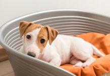 Cachorro combatendo ansiedade da quarentena em caminha dentro de casa