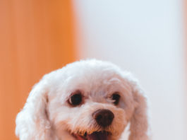 Poodle branco menores raças de cachorros