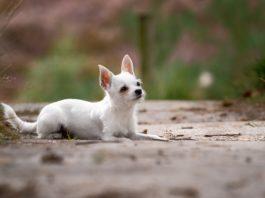 Chihuahua branco deitado