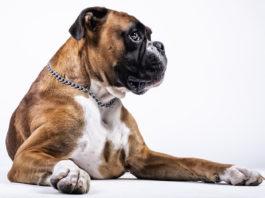 Boxer adulto deitado em fundo branco cão tipo Molosso