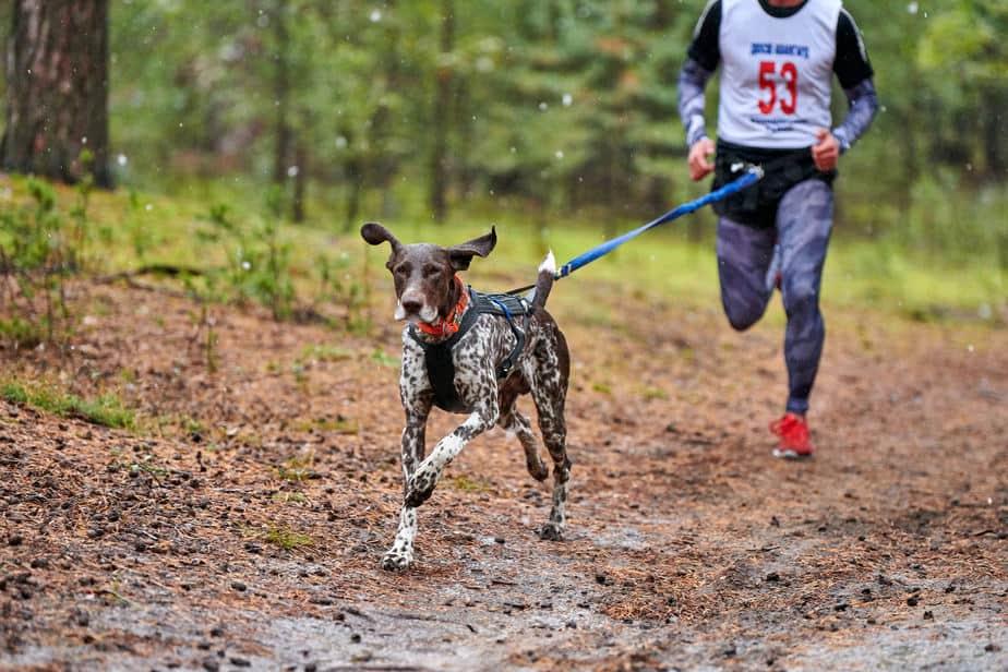 Pointer em atividade de corrida com tutor em parque cães de caça