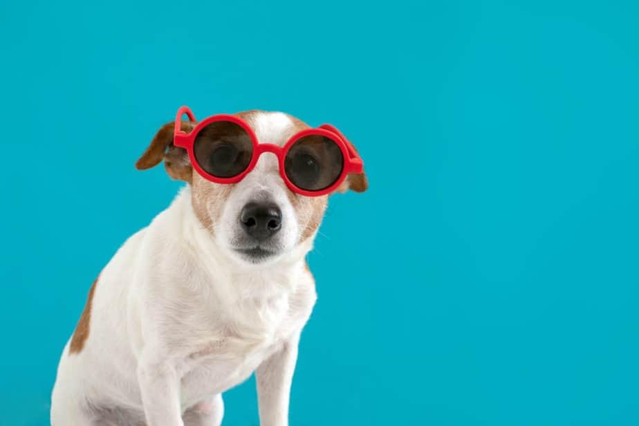 Cachorro do Máskara com óculos de sol vermelho em um fundo azul - Créditos da imagem: Freepik
