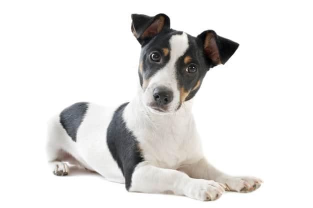 Jack Russell Terrier deitado em fundo branco