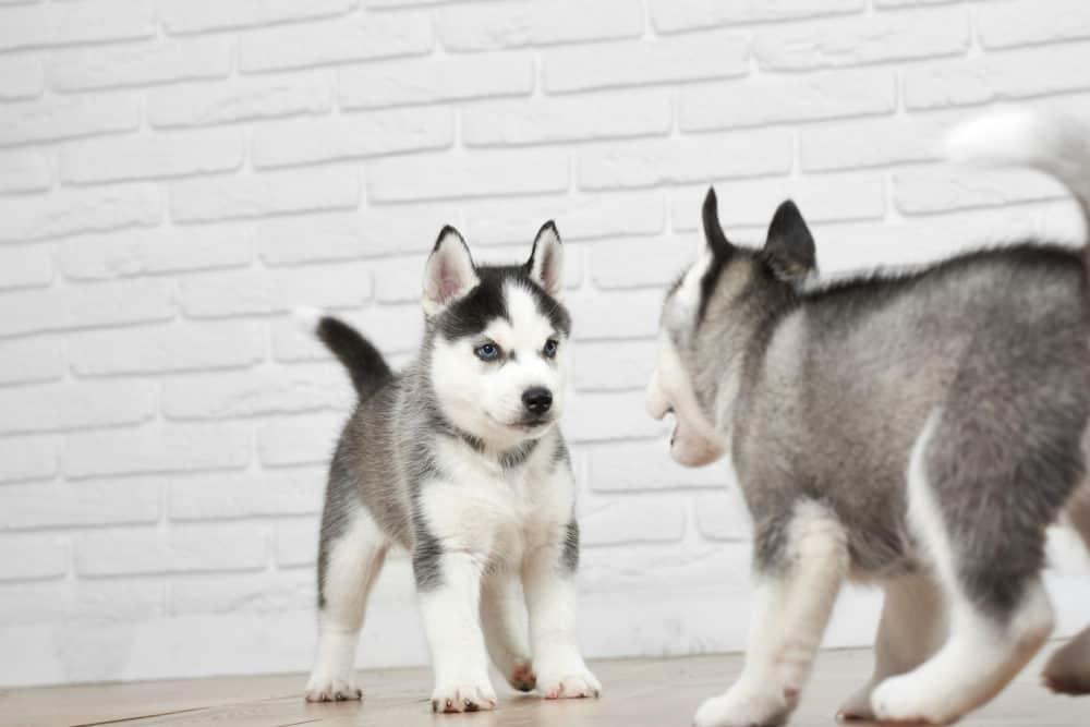 Filhotes de Husky Siberiano brincando