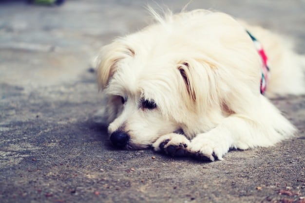 Cachorro vomitando espuma