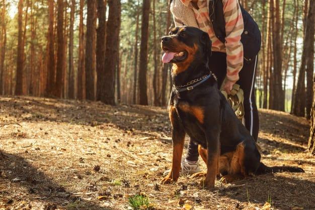 Origem e história do Rottweiler