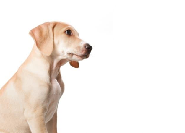 Cachorro comendo cocô