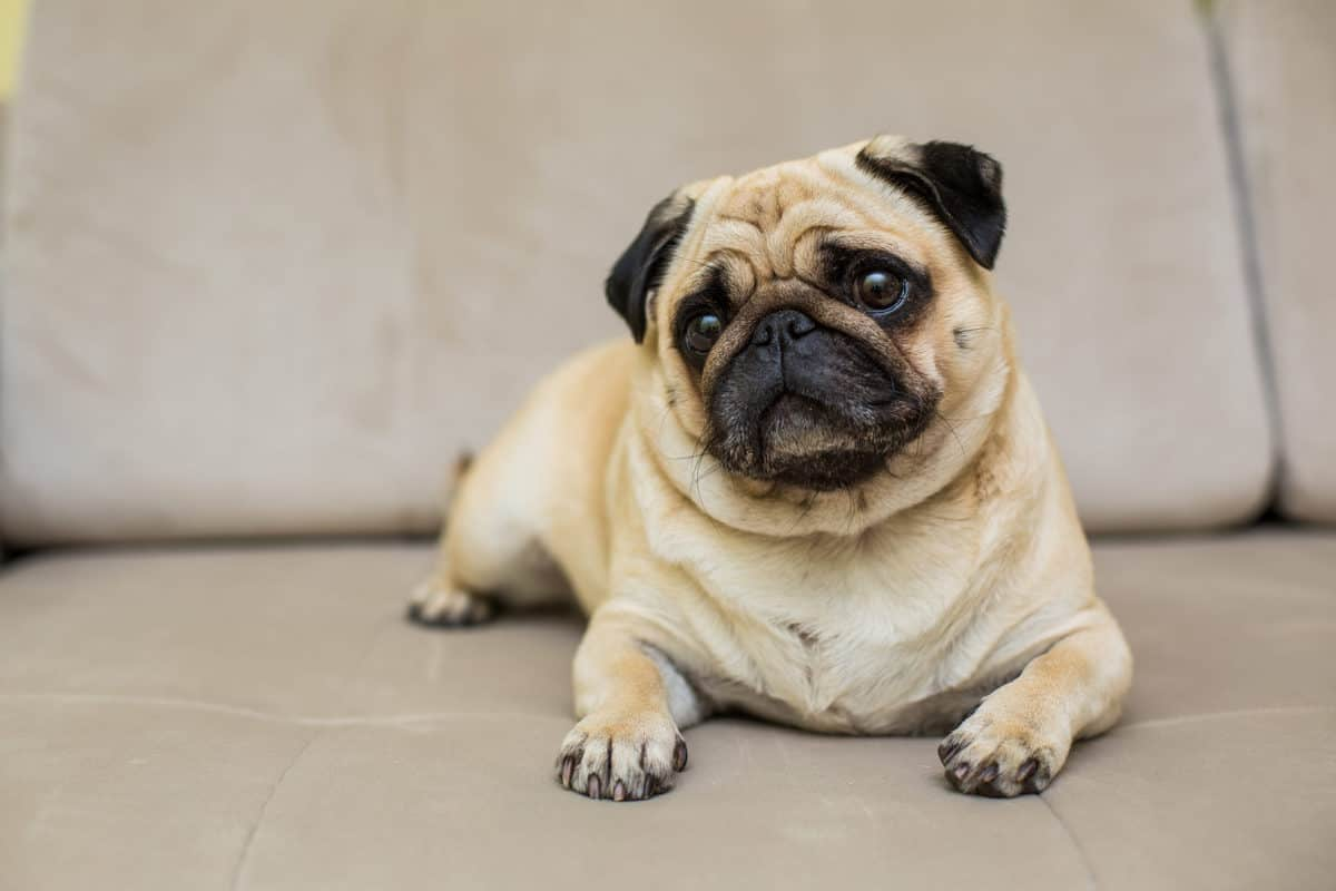 Conheça 10 raças pequenas de cachorro