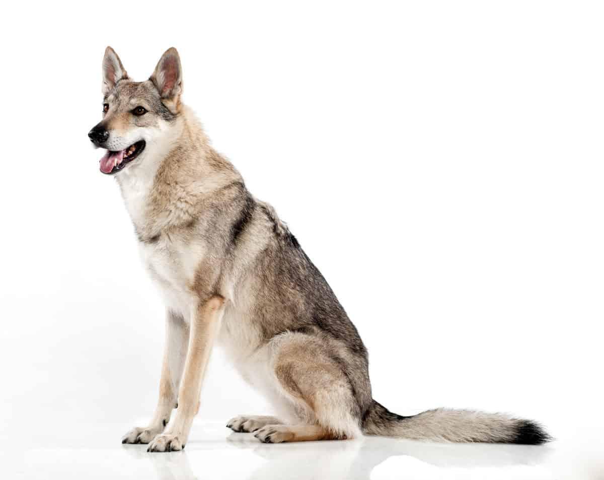 Cães mais perigosas do mundo 2021