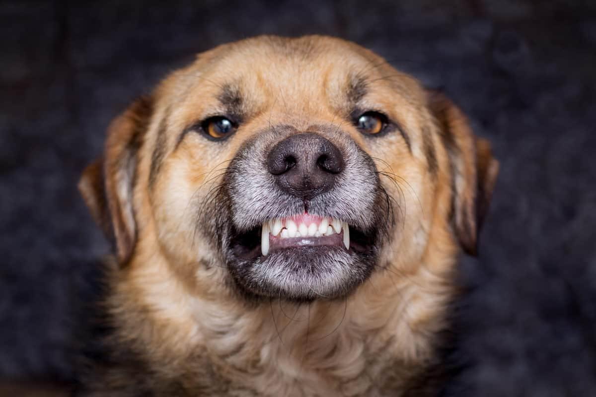 Cães mais perigosos do mundo 2021: Conheça as 15 Raças!