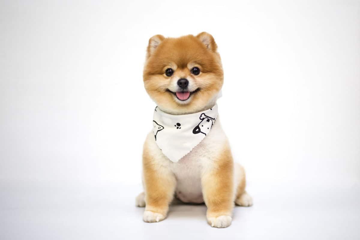 10 raças pequenas de cachorro