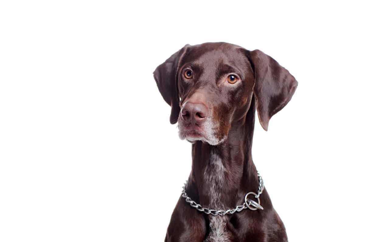 raças de cães mais atletas