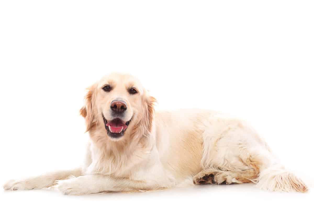 Cães de companhia
