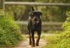 Rottweiler11