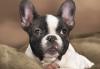 black and white french bulldog portrait